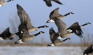 Geese_in_flight