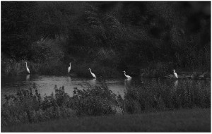 Platte County 102--Five white herons at dusk