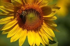 Sunflowerandbee