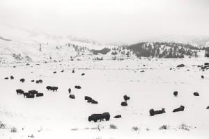 BuffaloinWinter
