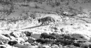 YellowstoneCoyoteprowl